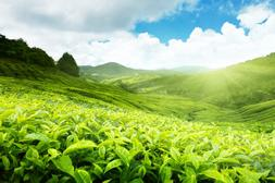 Laeacco Mountain <font><b>Tea</b></font> <font><b>Tree</b></