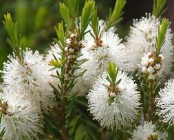 Tea Tree/Melaleuca alternifolia Oil Pure&Natural up to 8 oz.